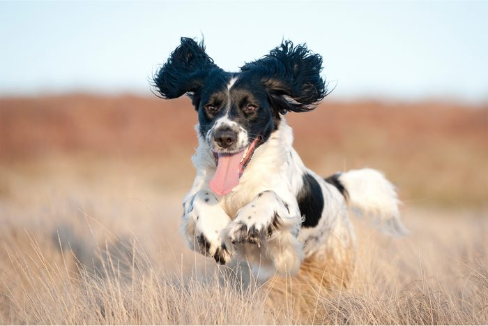 Young cocker spaniel running on field with ears flopping in the wind and tongue out
