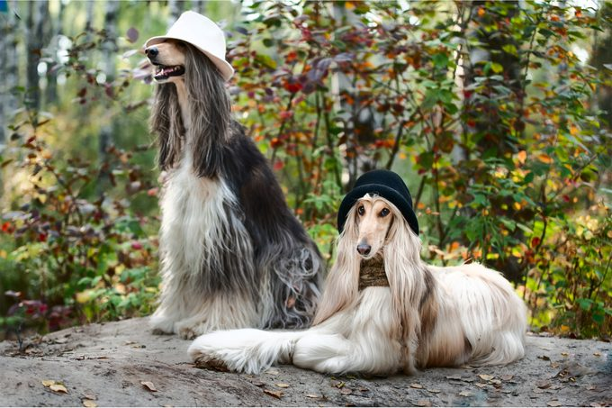 Two Afghan Hounds posing with hats on for a portrait shot in the forest