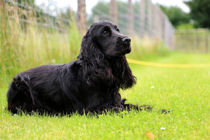 Portrait of a black Cocker Spaniel sitting in the grass in front of a fence looking off into the distance