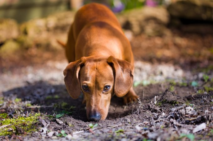 Brown Dachshund sniffing the dirt and staring into the camera