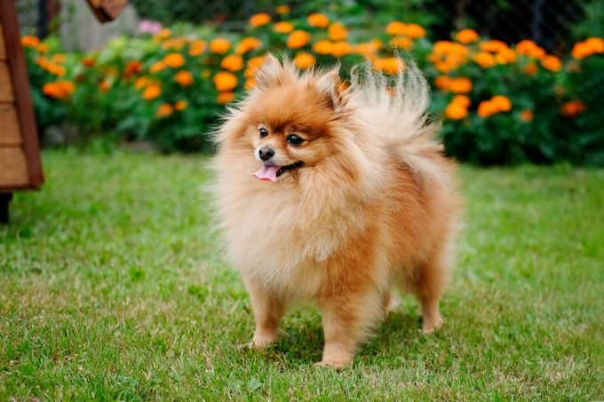 pomeranian dog standing in the grass with orange flowers in the background