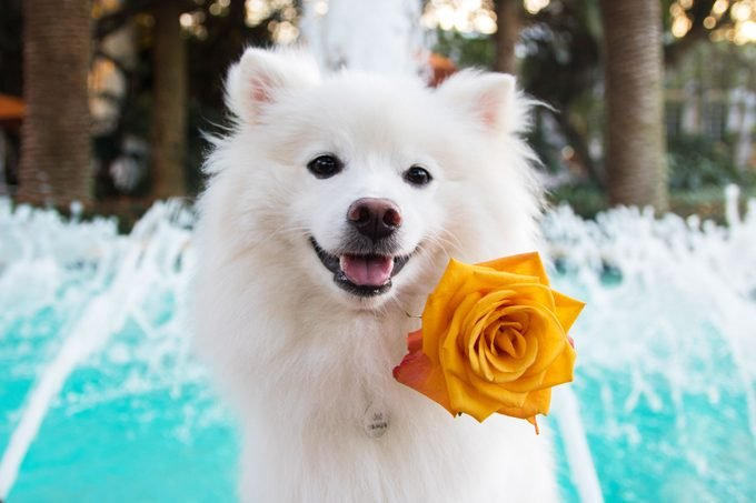 American Eskimo dog with yellow flower in front of a fountain