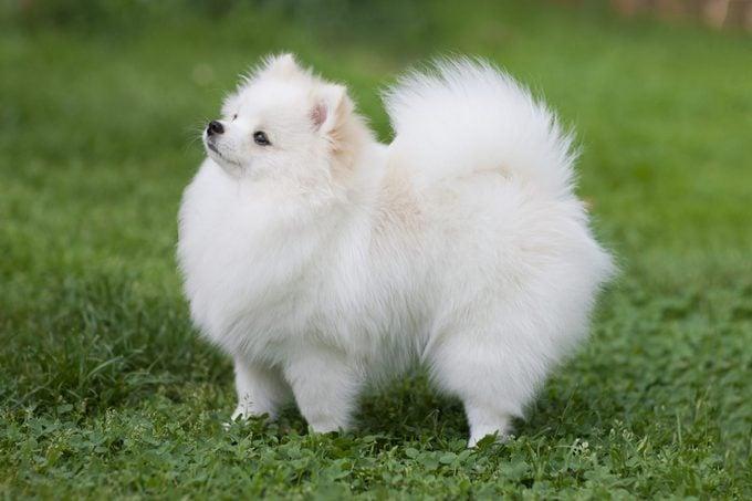 fluffy, white pomeranian in grass