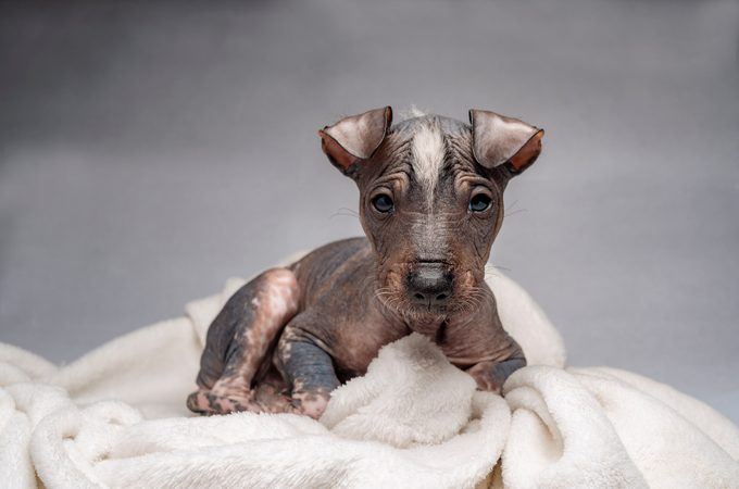 Hairless Khala puppy wrapped in a white blanket