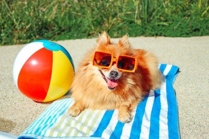 Dog Wearing Sunglasses, Pomeranian, Dog On Vacation, Happy Dog, Funny Dog, Dog Summer