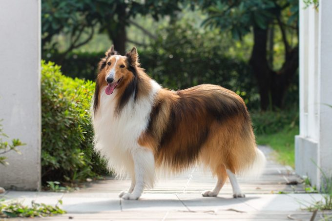 Collie standing outdoors