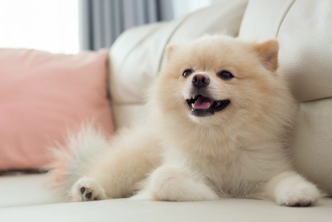 pomeranian dog on the couch at home in the living room