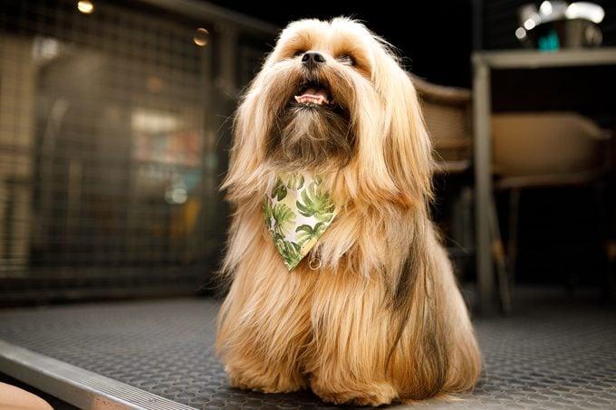 Lhasa Apso dog wearing a bandana