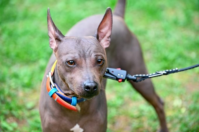 American Hairless Terriers dog close-up portrait with colorful collar and black leash