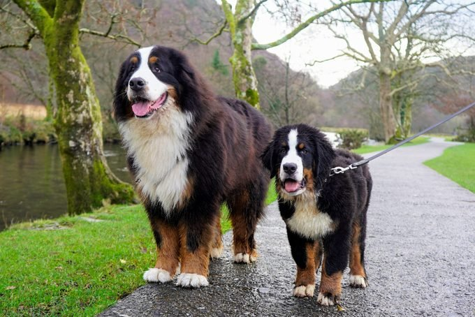 Adult and puppy Bernese Mountain Dogs standing on a path next to a river
