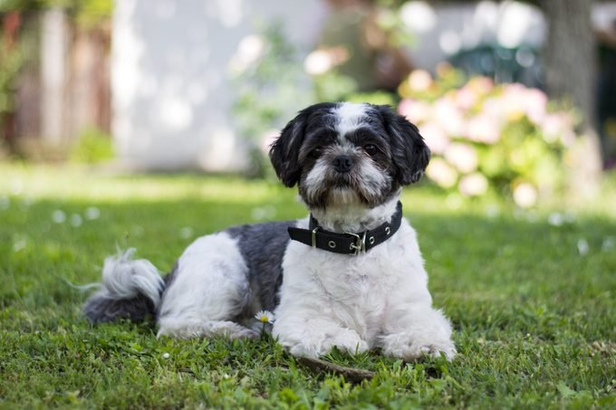 black and white shih tzu dog laying on the grass in the shade