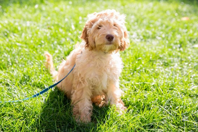 4 month old Cockapoo puppy in the grass