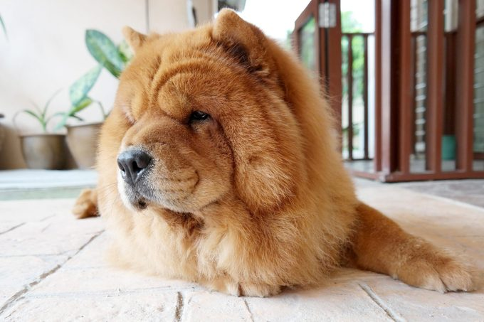 Close-Up Portrait Of Chow Chow Dog Relaxing on the Floor