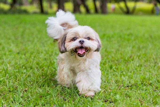 Shih Tzu dog walking on the grass