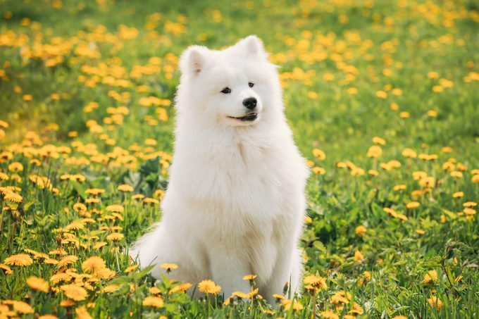 Young Happy Smiling White Samoyed Dog Sitting Outdoors In Green Spring Meadow With Yellow Blooming Dandelion Flowers.