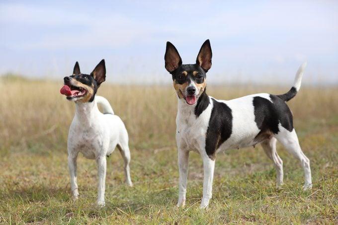 Toy Fox Terriers in a field