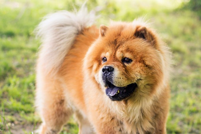 Chow Chow outdoors in the grass