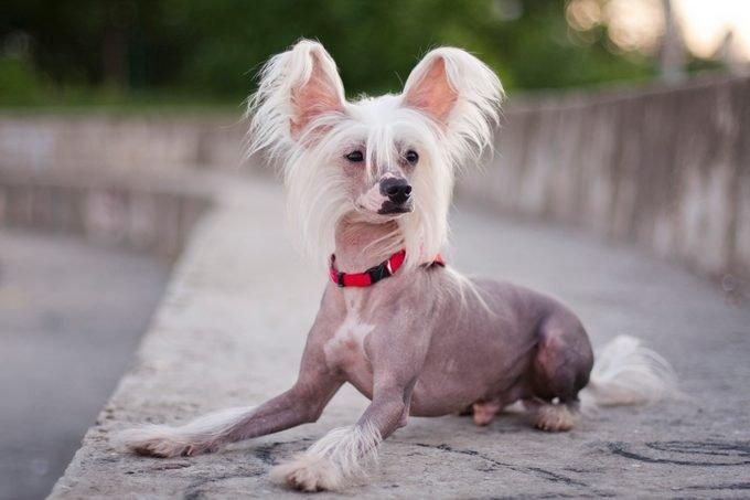 hairless chinese crested dog lies on a huge concrete staircase