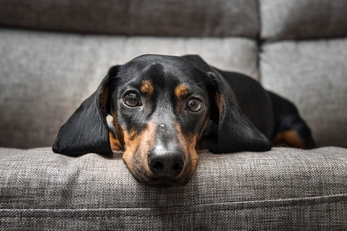 Puppy Dachshund looking at the camera while lying on a grey couch