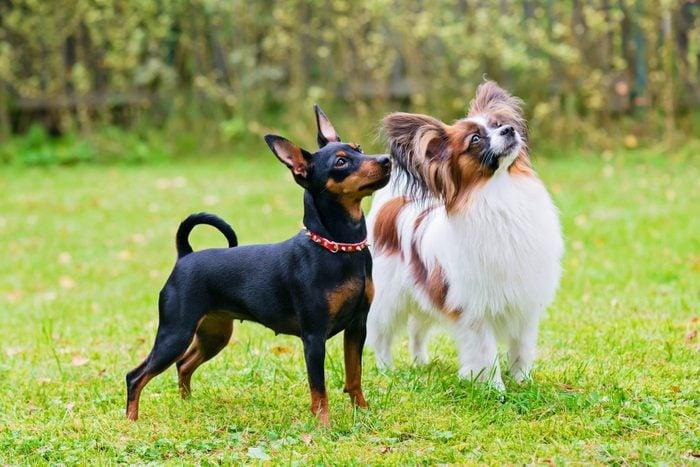 Miniature Pinscher And Papillon Dogs On The Grass