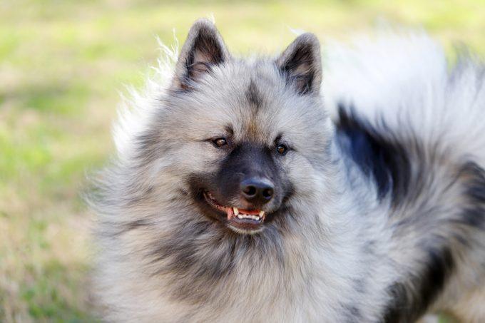 A fluffy Keeshond, enjoying a breezy day outside.