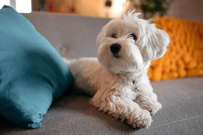 Maltese dog relaxing on sofa at modern living room