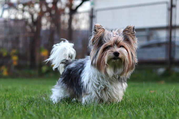 Biewer Yorkshire Terrier standing in a grass yard