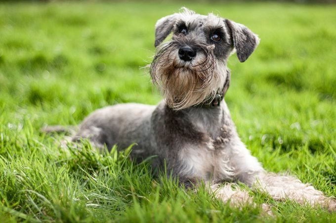 Miniature schnauzer laying on grass looking up