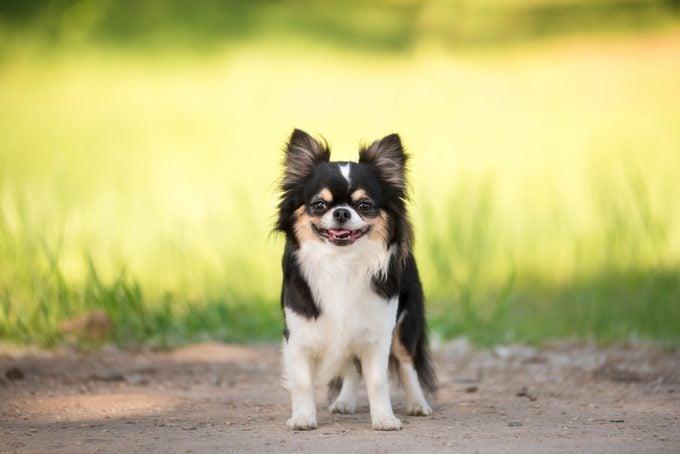 A teacup chihuahua dog smiling outside