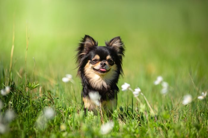 A teacup Chihuahua dog in a Sunny clearing. Hot day.