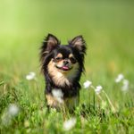 17 Too-Cute Teacup Dog Breeds