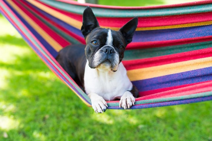 young sweet boston terrier relaxing in a colorful hammock