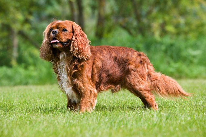 English toy spaniel standing in the grass