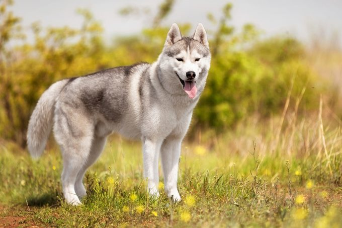 A young Siberian Husky is standing at a pasture. The dog has grey and white fur; his eyes are brown. There is a lot of grass, and yellow flowers around him; the sky is blue
