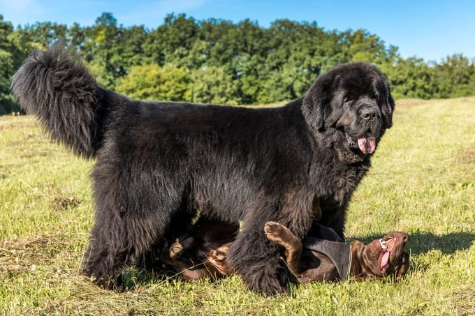 large black Newfoundland dog playing with another smaller dog in a field