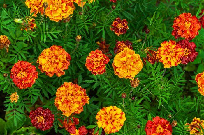 Bright autumn flowers marigolds