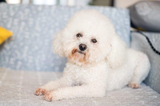 bichon frise dog on the sofa