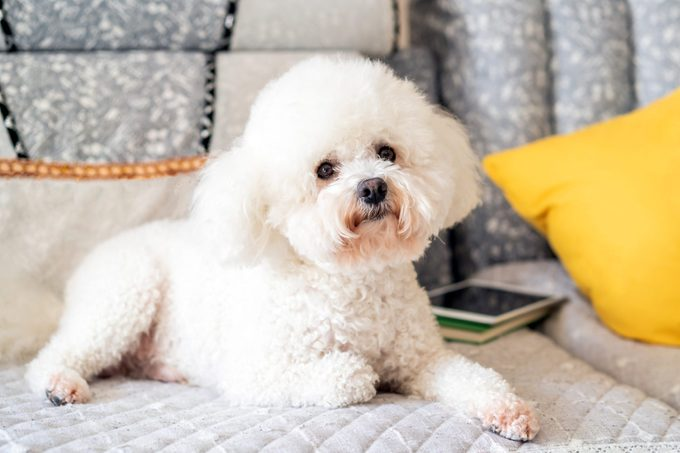 fluffy white bichon frise on the couch