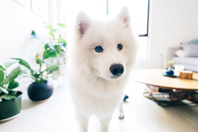 White Samoyed Dog At Home Looking at Camera