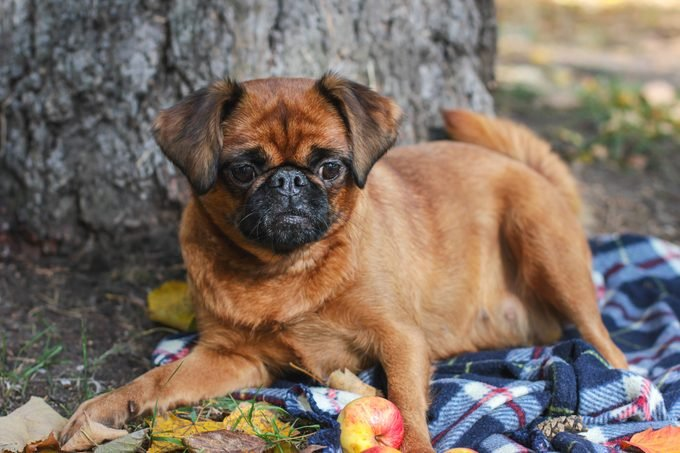 Brussels Griffon Dog With Chestnut Color Lying On Blanket Under Tree In The Autumn Park