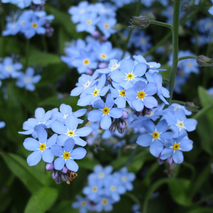 Bright Sweet Pretty Blue Forget-Me-Not Flowers that grow in the shade