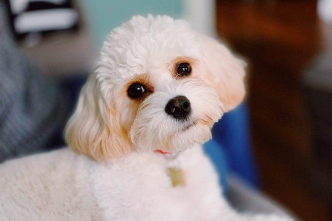 Cavachon dog close up indoors