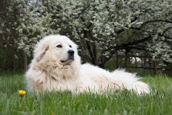 Great Pyrenees mountain dog laying in front of a flowering dogwood tree in the spring.