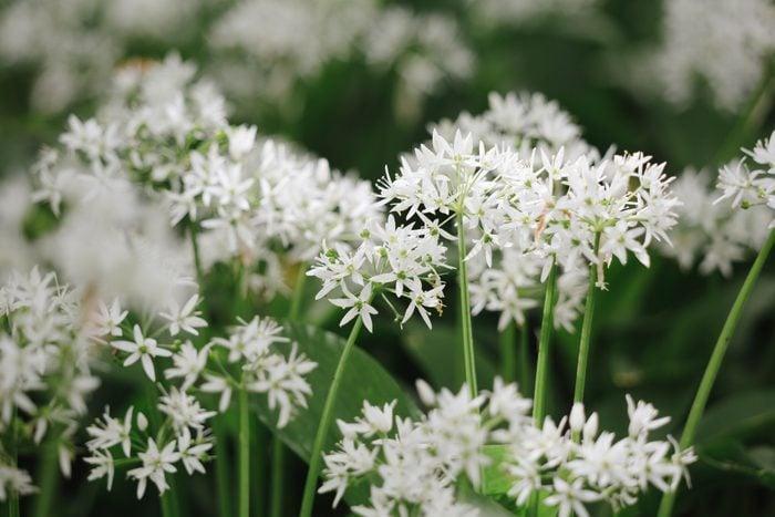 Patch of wild garlic flowers