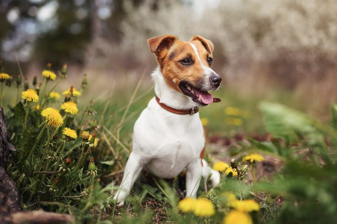 Small Jack Russell terrier sitting on meadow in spring, yellow dandelion flowers near