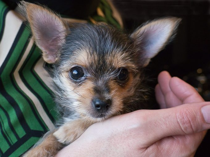 close up of Chorkie puppy held in someoes hand