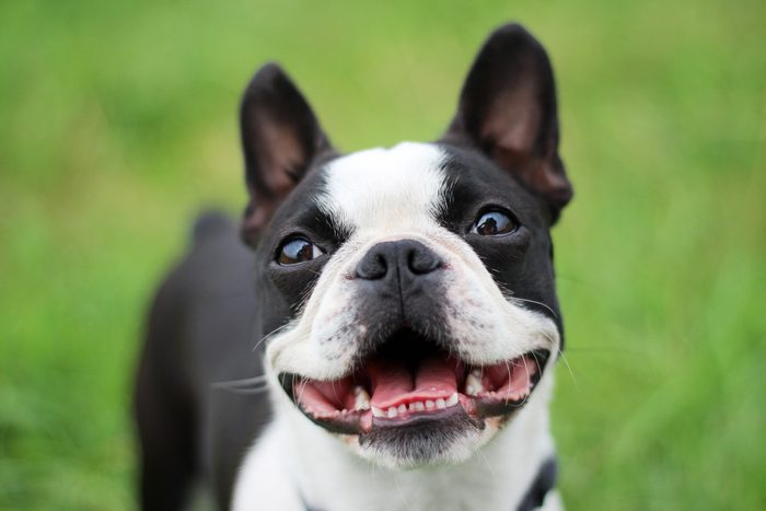 Boston terrier smiling into the camera