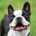 10 Adorable Black and White Dog Breeds That Are Too Cute to Ignore