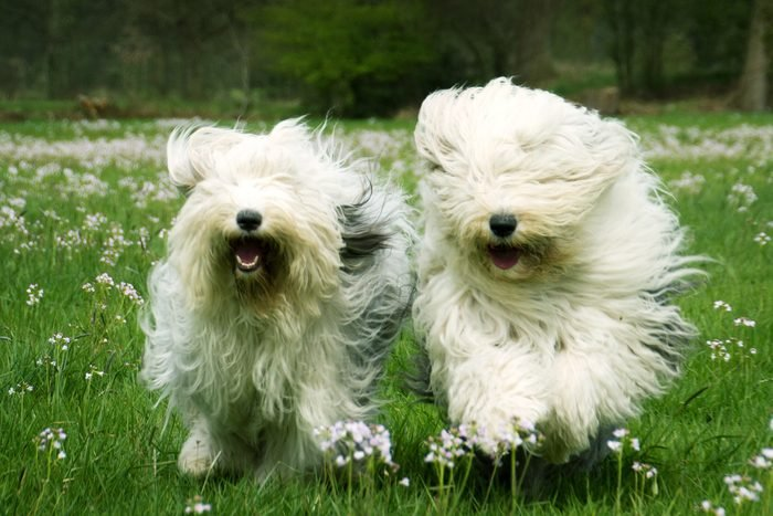 Old English Sheepdog Sophie and Sarah playing in spring