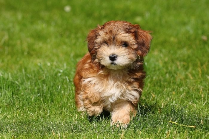 Red Havanese puppy walking in the grass
